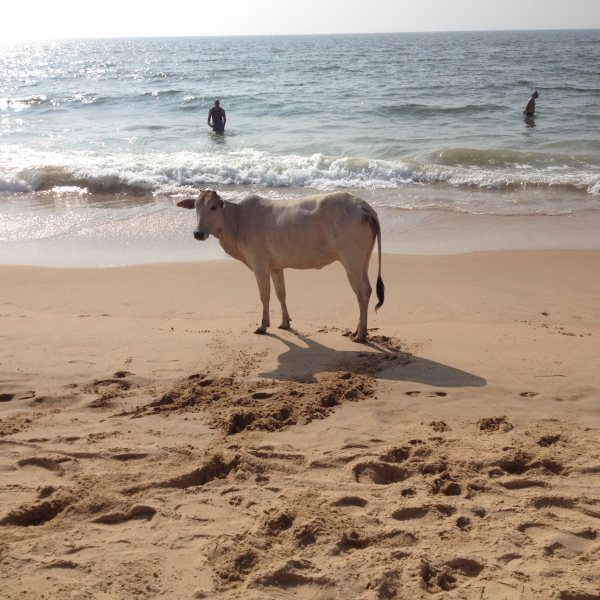 Too cold to go in..Cow On Beach